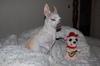 Chihuahua_eyechihuahua_you_call_tha
